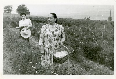 Helena Rubinstein picking flowers in Grasse, France